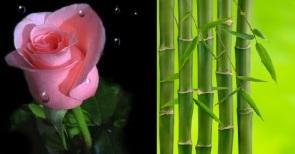 bunga mawar & pohon bambu